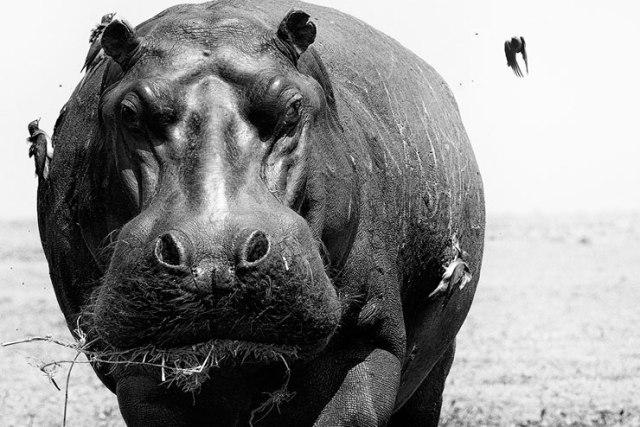 hippo-pique-boeuf