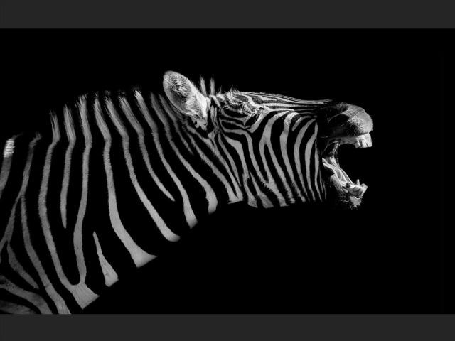 zebre-expressif-0